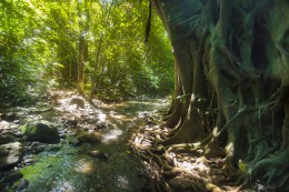 Big tree with roots in tropical jungle Thailand, Krabi, Lanta