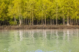 Mangrove forest in the national park Lanta Krabi Thailand